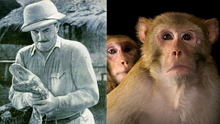 The Long Island Rhesus Monkey Escape